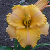 Location: Dreamy Daylilies - Chatham-Kent, Ontario   5bDate: 2013-07-09
