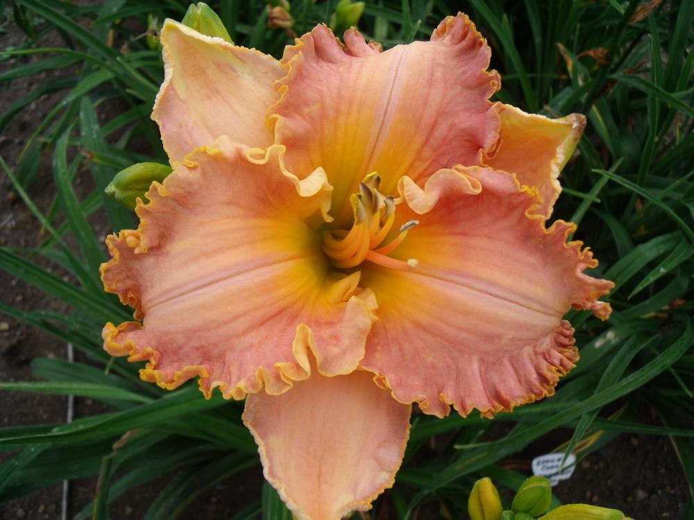 Photo of Daylily (Hemerocallis 'Spacecoast Starburst') uploaded by Guybo