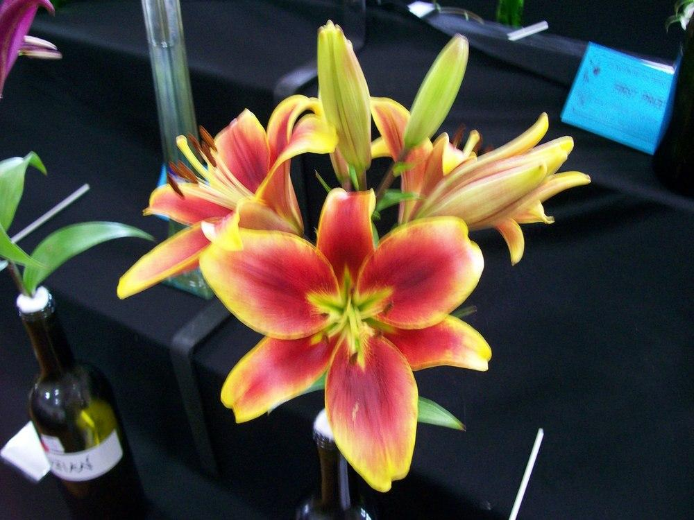 Photo of Lily (Lilium 'Kaveri') uploaded by gwhizz
