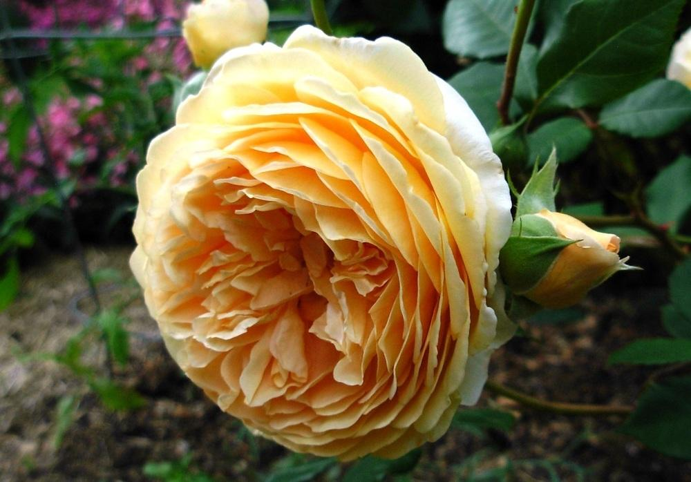 Photo of Rose (Rosa 'Crown Princess Margareta') uploaded by Gilli