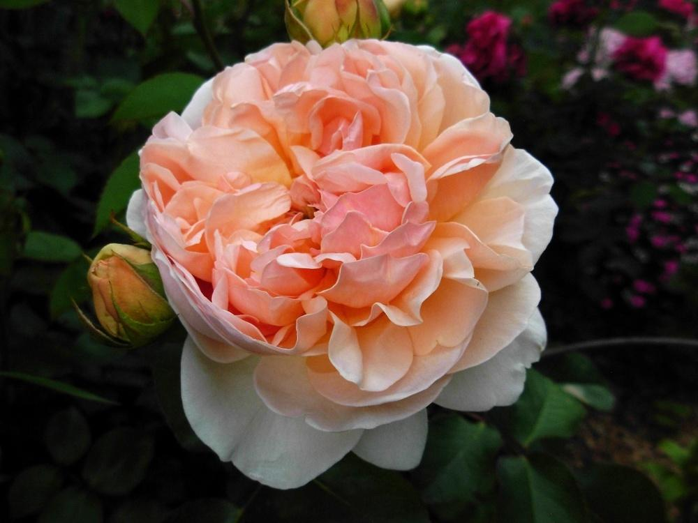 Photo of Rose (Rosa 'Evelyn') uploaded by Gilli