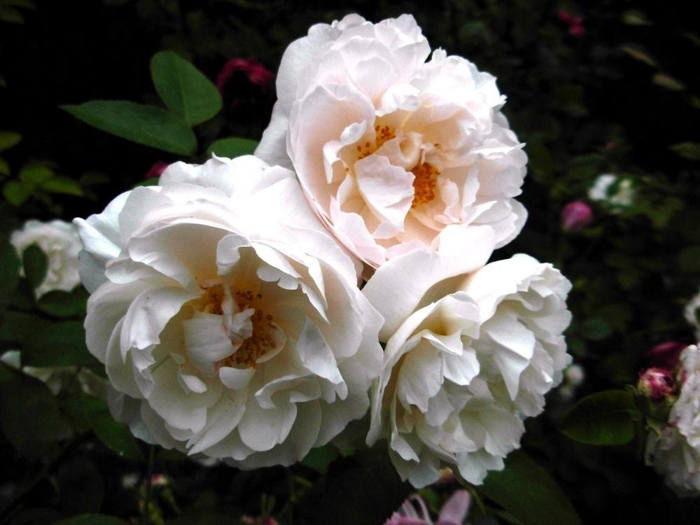 Photo of Rose (Rosa 'Winchester Cathedral') uploaded by Gilli