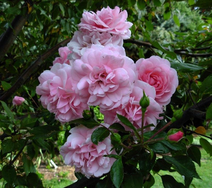 Photo of Rose (Rosa 'Bonica') uploaded by Gilli