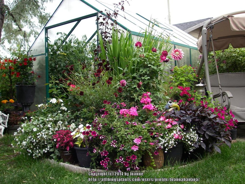 Roses In Garden: Creating A Color Theme With Annuals