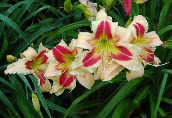 Photo of Daylily (Hemerocallis 'Patricia Snider Memorial') uploaded by shive1