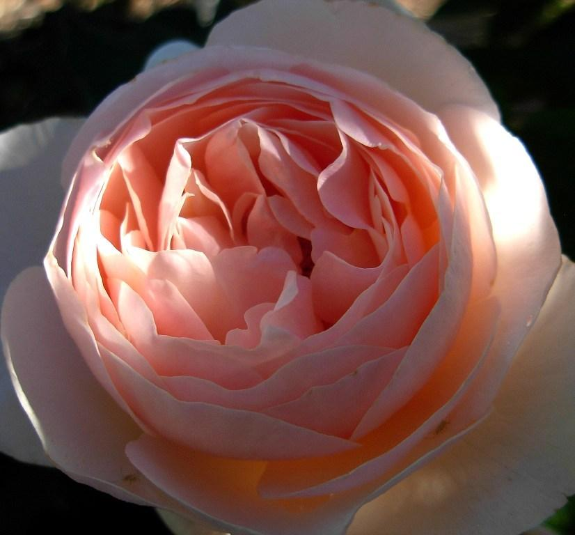 Photo of Rose (Rosa 'Heritage') uploaded by Gilli