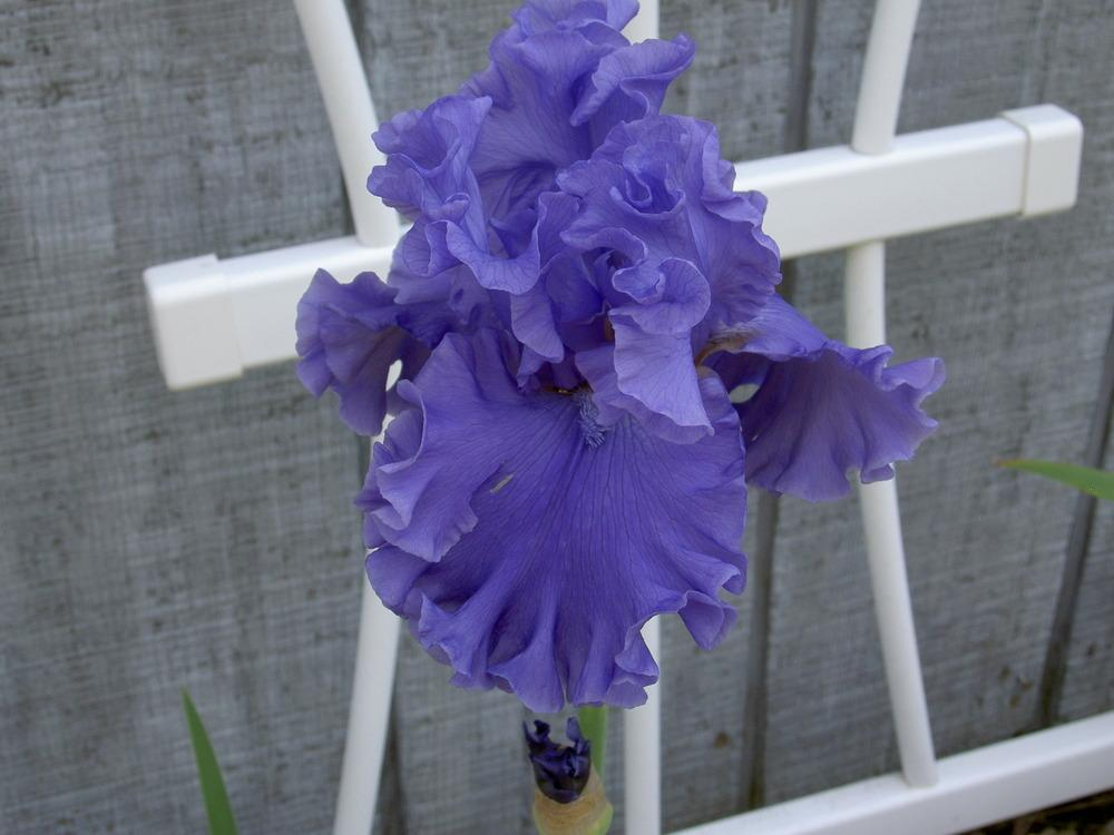 Photo of Tall Bearded Iris (Iris 'Sea Power') uploaded by Muddymitts