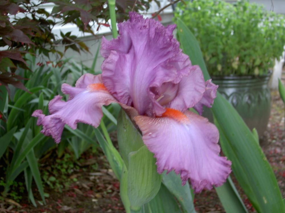 Photo of Tall Bearded Iris (Iris 'Cranberry Ice') uploaded by Muddymitts