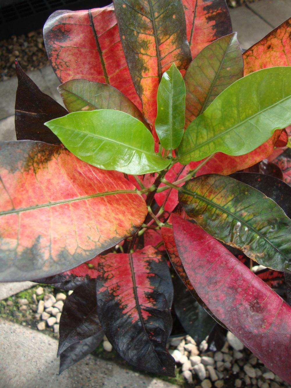 Photo of Croton (Codiaeum variegatum 'Mrs. Iceton') uploaded by Paul2032