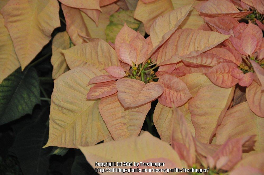 Photo of Poinsettia (Euphorbia pulcherrima 'Cinnamon Star') uploaded by treehugger