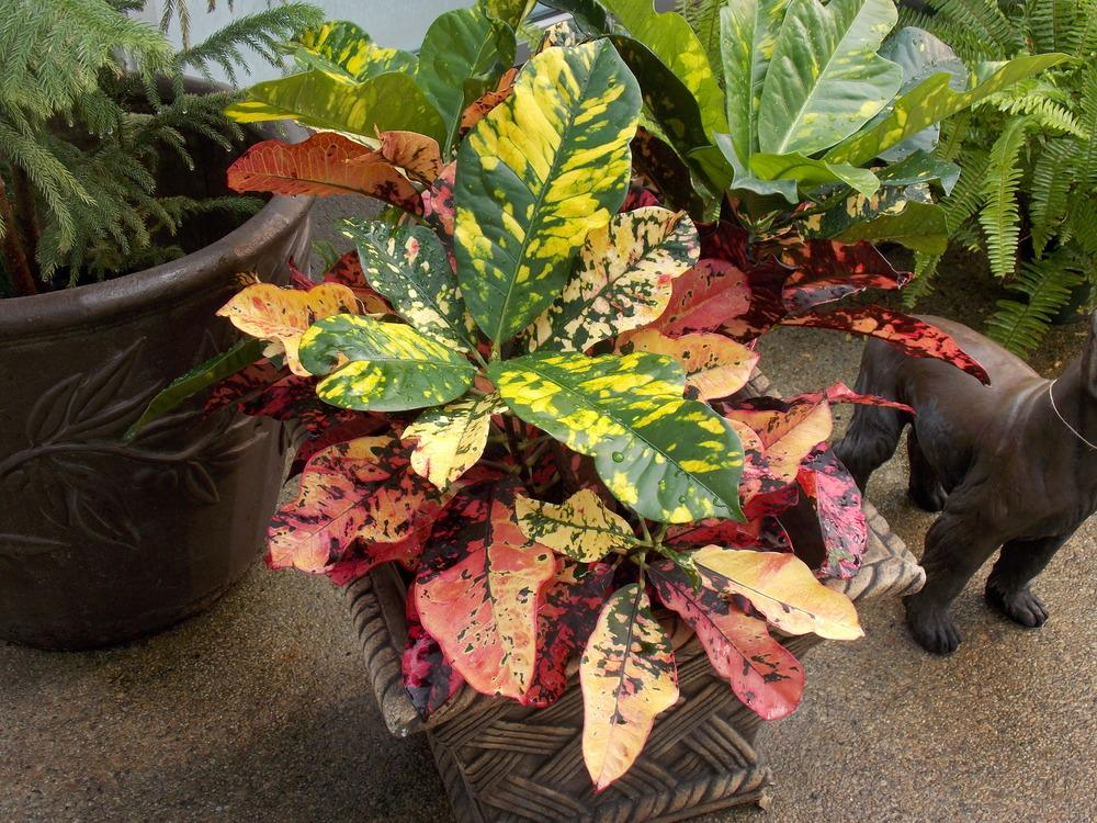 Photo of Crotons (Codiaeum) uploaded by Paul2032
