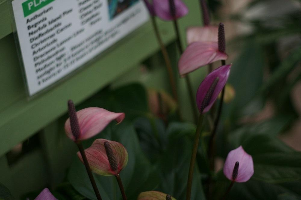 Photo of Anthuriums (Anthurium) uploaded by Skiekitty