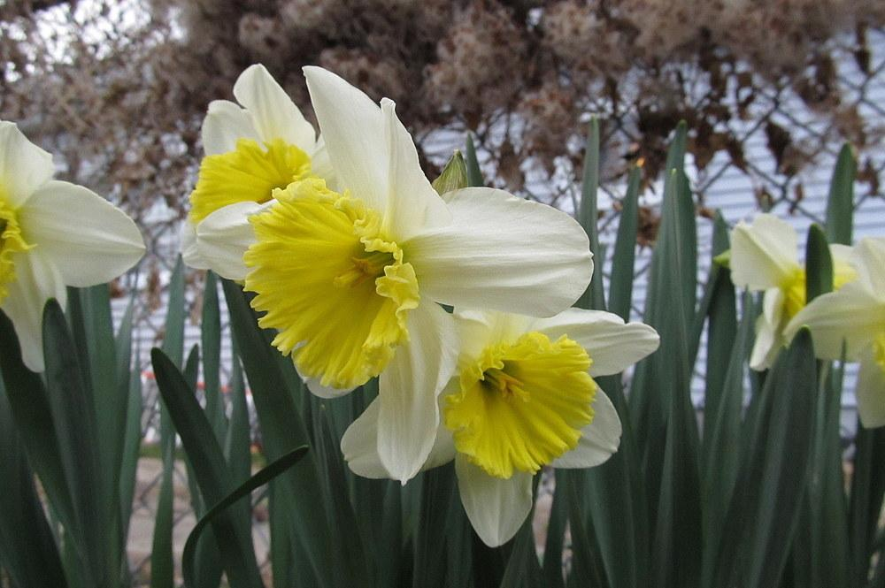 Photo of Large-Cupped Daffodil (Narcissus 'Ice Follies') uploaded by jmorth