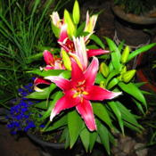 Location: central IllinoisDate: 2011-07-09potted lily