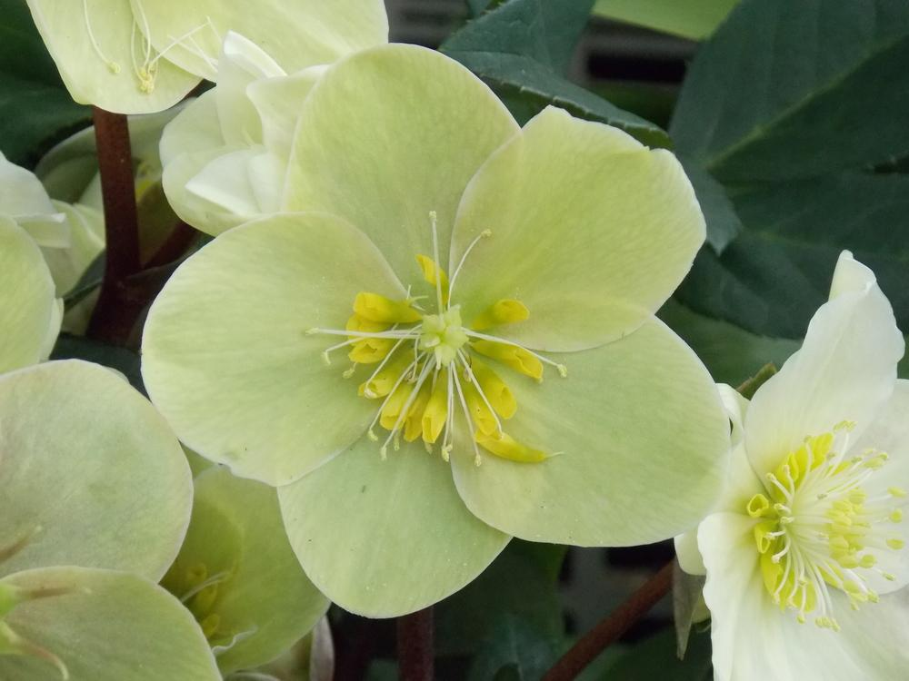 Photo of Lenten Rose (Helleborus x hybridus) uploaded by Paul2032