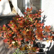 Location: At our garden - San Joaquin County, CADate: 2014-01-24Our jade plant this winter - 24Jan2014