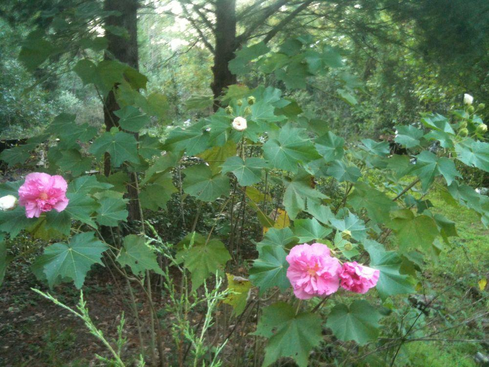 Photo of Confederate Rose (Hibiscus mutabilis) uploaded by Watersprite
