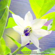 Location: Zone 5 IndianaDate: 2014-01-26NuMex Primavera  Flower shape & size:·star like, saucer-shaped,2