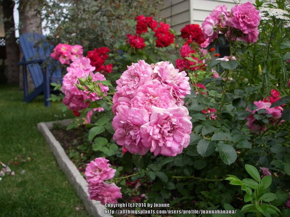 Roses In Garden: Roses Rock With Epsom Salts