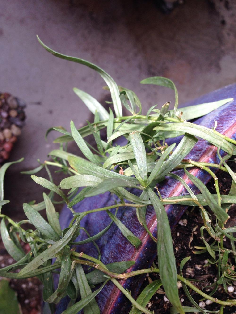 Tarragon entire plant
