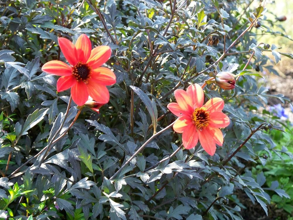 Photo of Dahlias (Dahlia) uploaded by jmorth