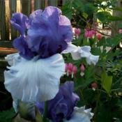 Location: Southeast IndianaDate: MayTall bearded iris 'Crowned Heads'