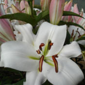 Photo courtesy of B&D Lilies