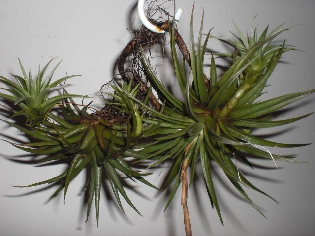Photo of Air Plant (Tillandsia espinosae) uploaded by Cahac