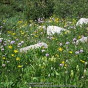 Location: Snowy Range WyDate: 2012-07-20With Arnica and Asters.