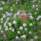 Location: Snowy Range, WyDate: 2012-07-20With Asters and Elephant Head