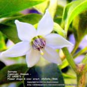 Location: Zone 5 IndianaDate: 2014-02-01Serrano  Capsicum: Annuum - PI: 640873 - Flower shape &