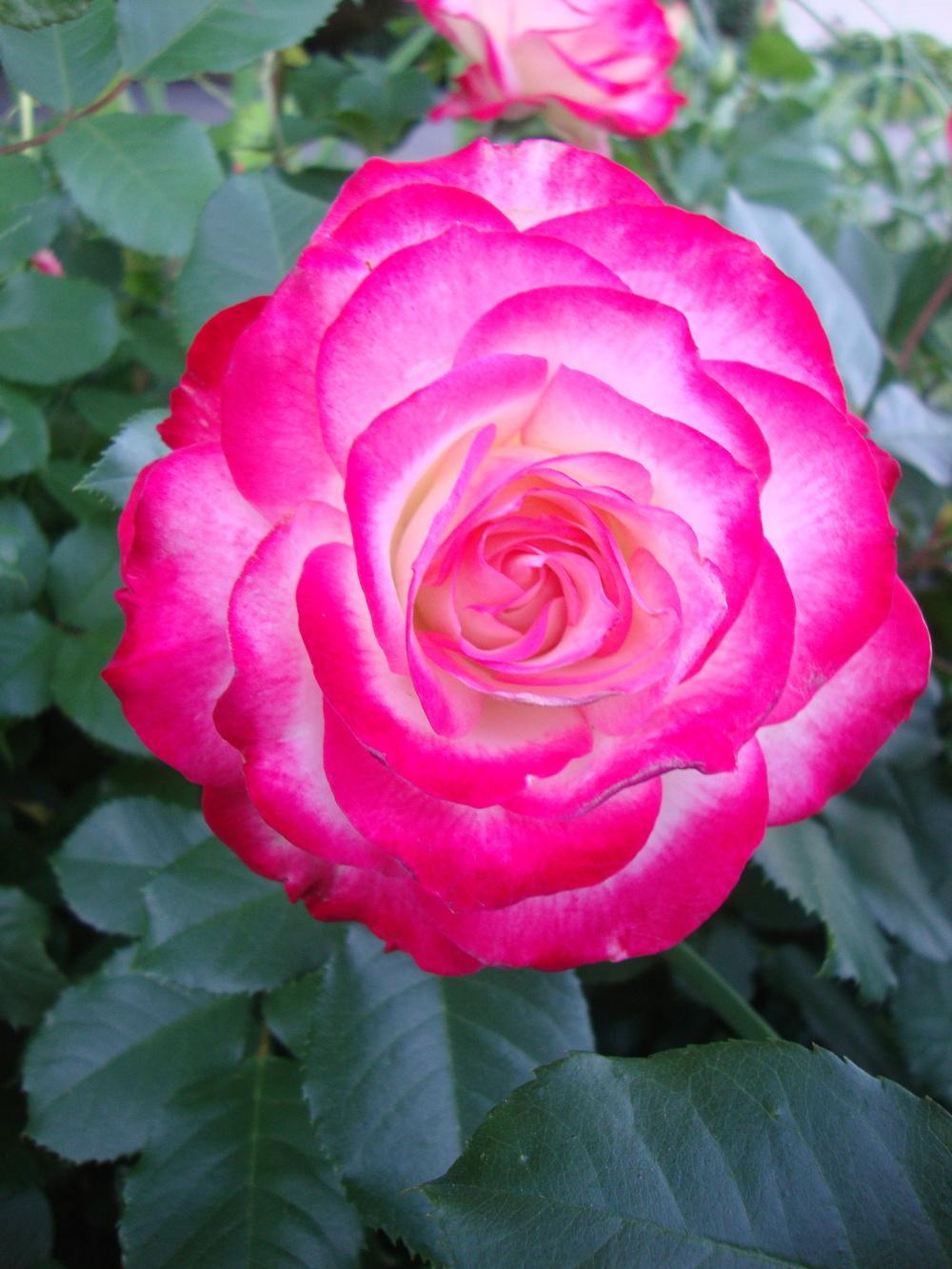 Photo of Rose (Rosa 'Cherry Parfait') uploaded by Paul2032