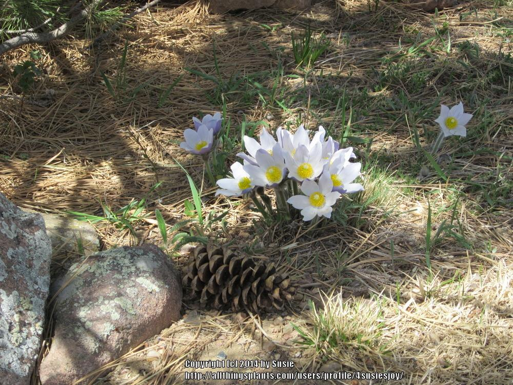 Photo of Pasqueflower (Pulsatilla patens subsp. patens) uploaded by 4susiesjoy