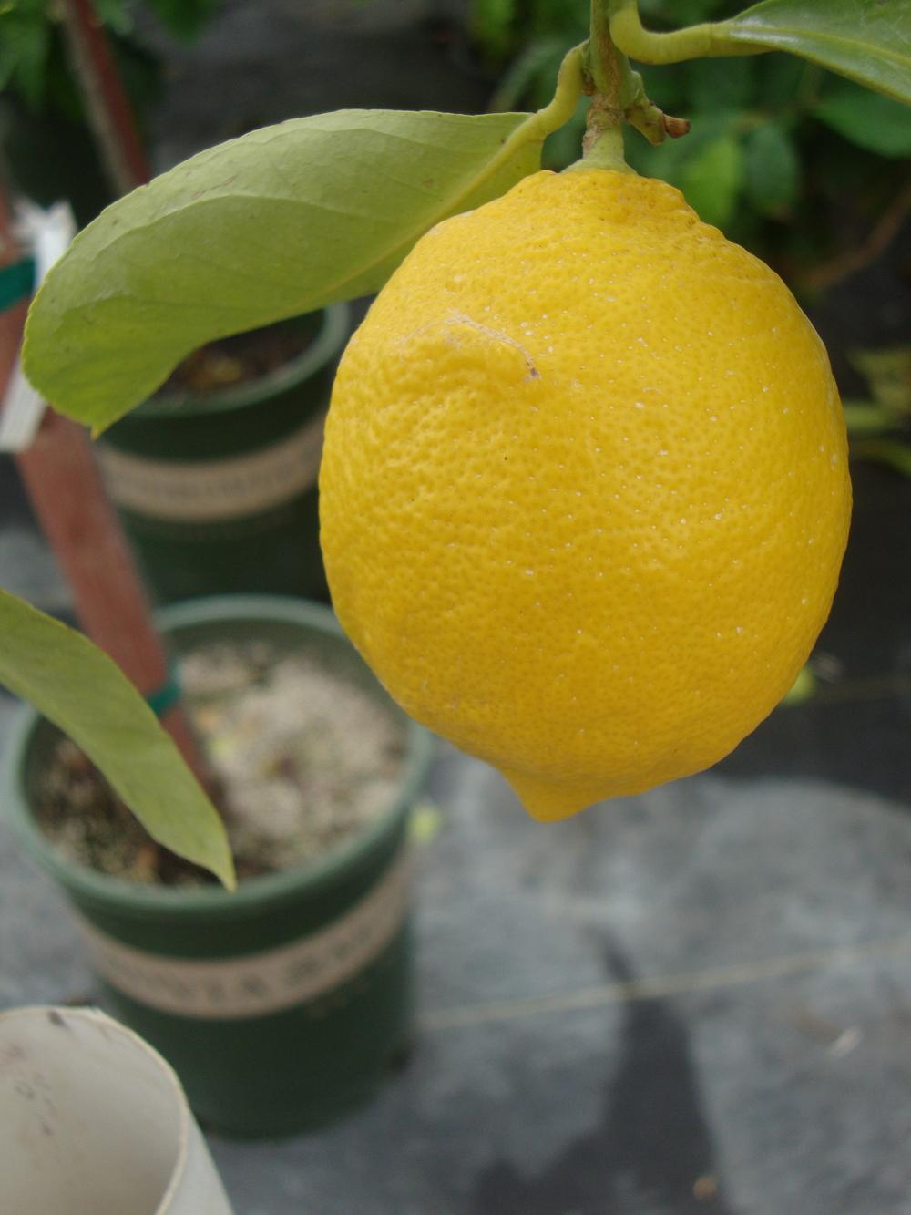 Photo of Meyer Lemon (Citrus x limon 'Meyer') uploaded by Paul2032
