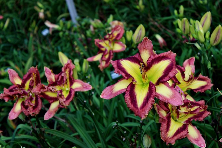 Photo of Daylily (Hemerocallis 'Applique Prism') uploaded by Calif_Sue