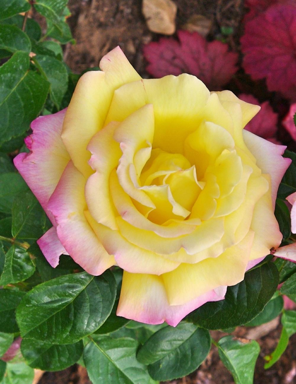 Photo of Rose (Rosa 'Peace') uploaded by dirtdorphins