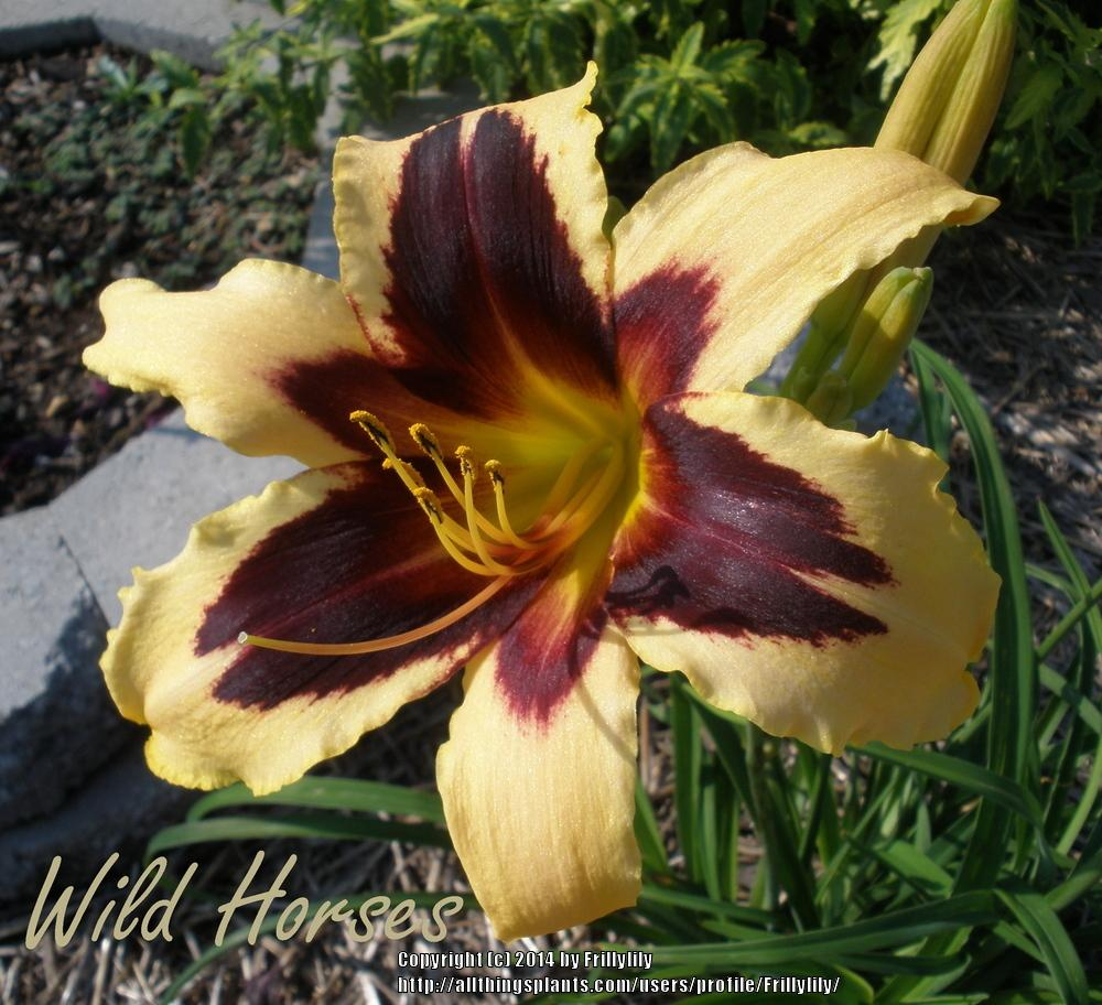 Photo of Daylily (Hemerocallis 'Wild Horses') uploaded by Frillylily