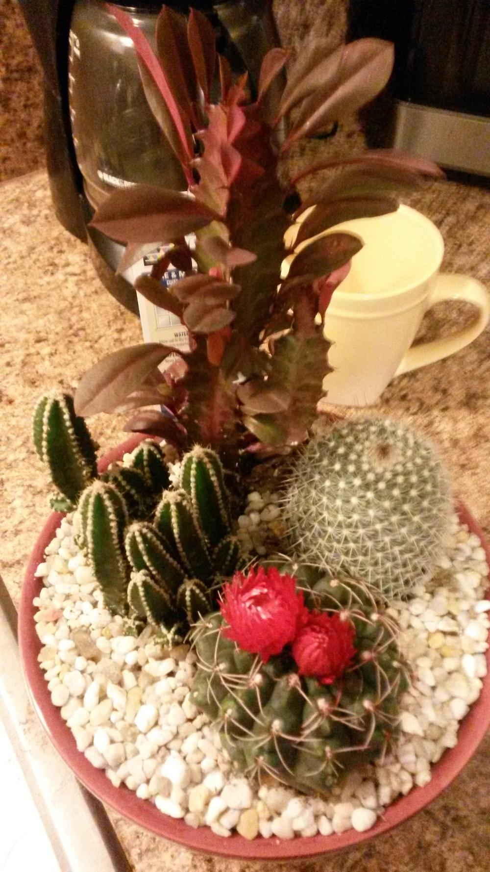Cactus and Tender Succulents forum: look at what I found at lowes ...