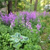 Location: woodland gardenDate: 2013-06-14Naturalized - planted 10 yrs ago