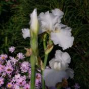 Location: My Garden, UtahDate: 2013-09-21re-bloom