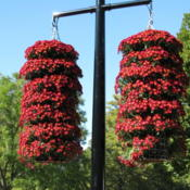 Location: MOBOT -   St LouisDate: 2009-09-29tiered Hanging Basket