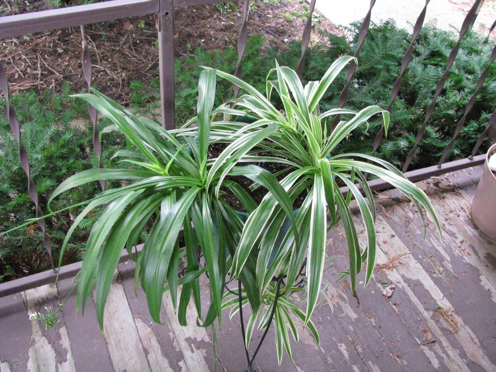 Photo of Spider Plant (Chlorophytum comosum) uploaded by jmorth