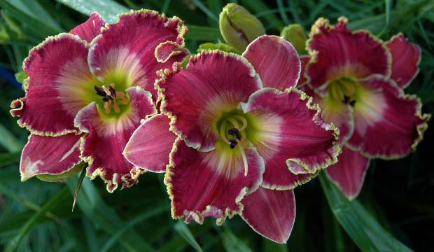 Daylilies Forum: Favorite Long Blooming (or Reblooming