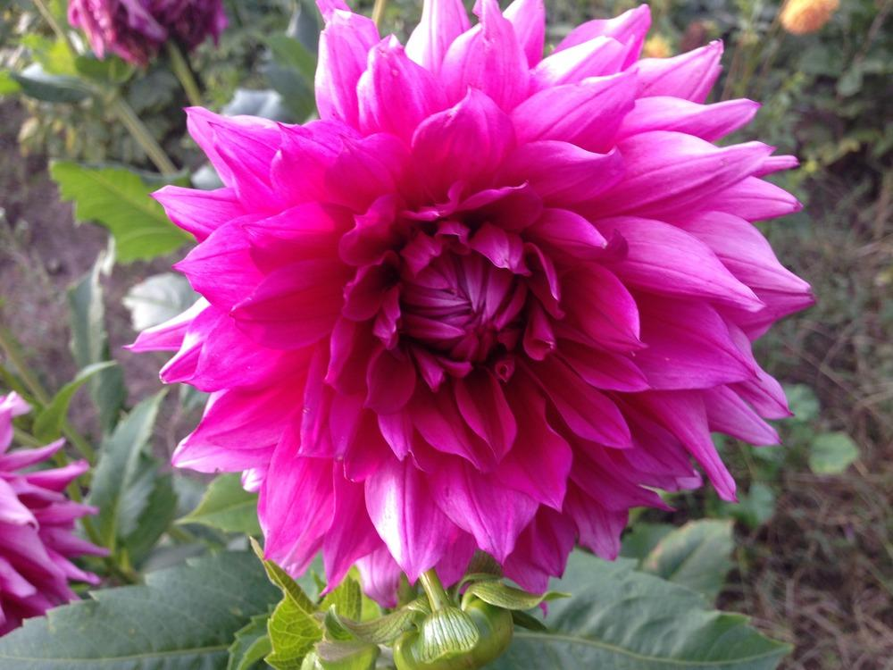 Photo of Dahlia 'Babylon Rose' uploaded by mabarberdo