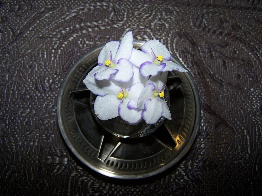 Photo of African Violets (Saintpaulia) uploaded by jmorth