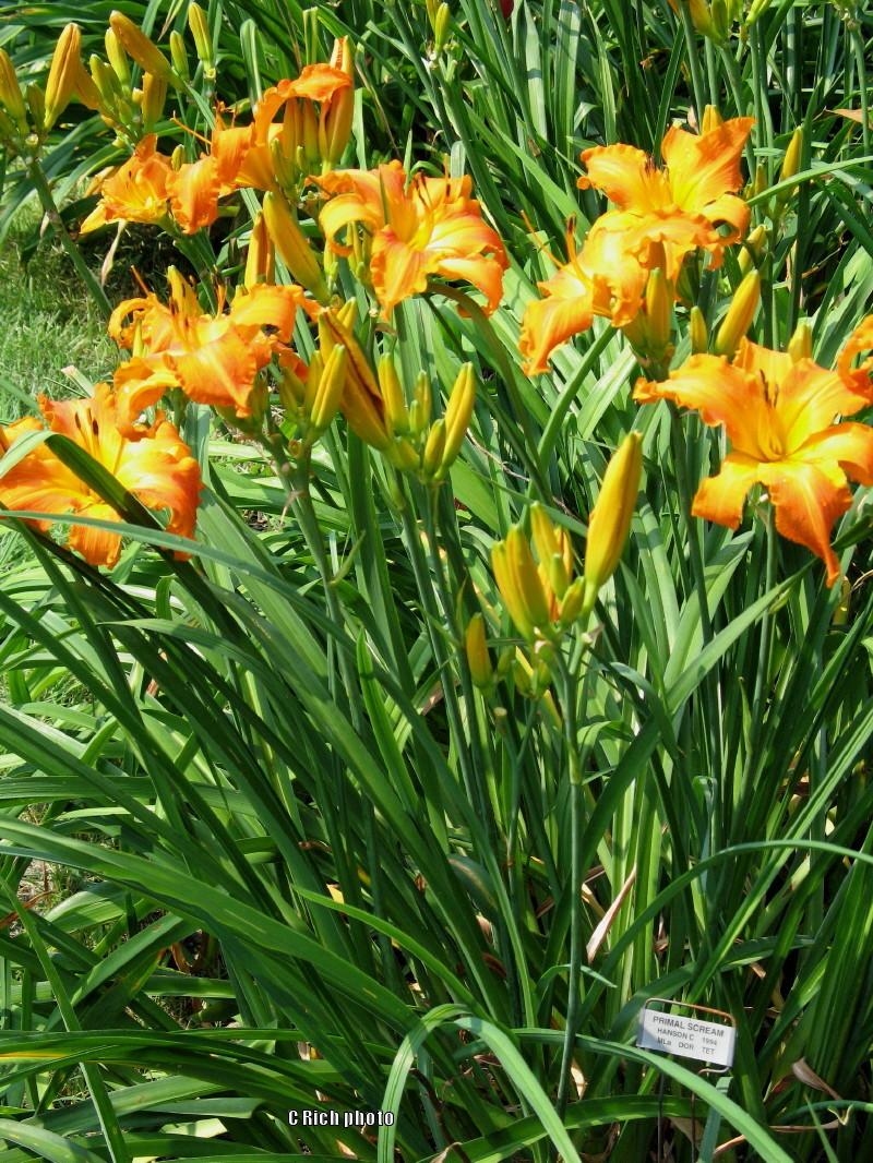 Photo of Daylily (Hemerocallis 'Primal Scream') uploaded by Char