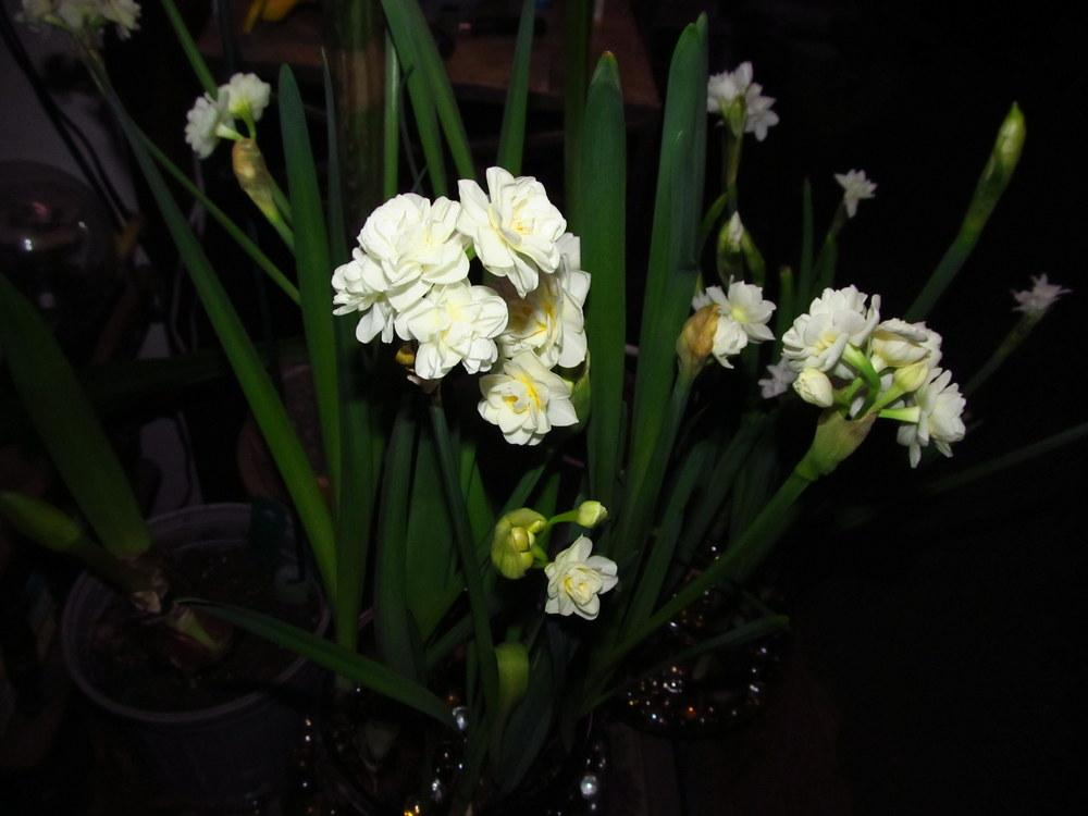 Photo of Double Daffodil (Narcissus 'Erlicheer') uploaded by jmorth