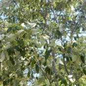 Location: Macleay Island, Queensland, AustraliaDate: 2014-02-16Soap Tree, leaves have a high saponin content, used to froth wate