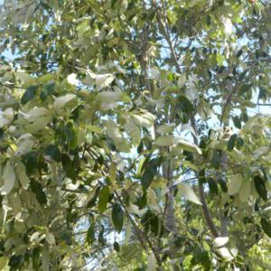 Soap Tree, leaves have a high saponin content, used to froth wate