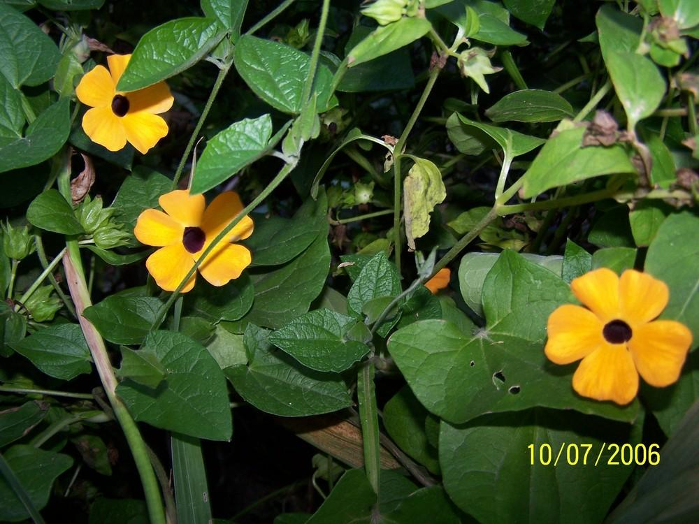 Photo of Black-Eyed Susan Vine (Thunbergia alata) uploaded by jmorth